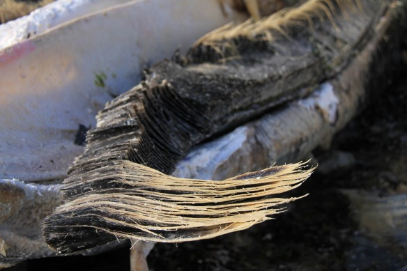 Greenland-blog-fourthcontinent-whale-baleen-IMG_4417