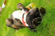 dog-enjoying-the-sun-on-the-grass-with-shades